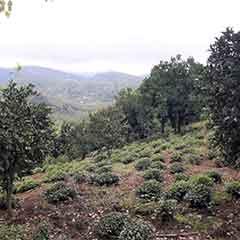 فروش باغ چای در املش
