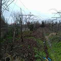 خرید زمین باغ کیوی رودسر