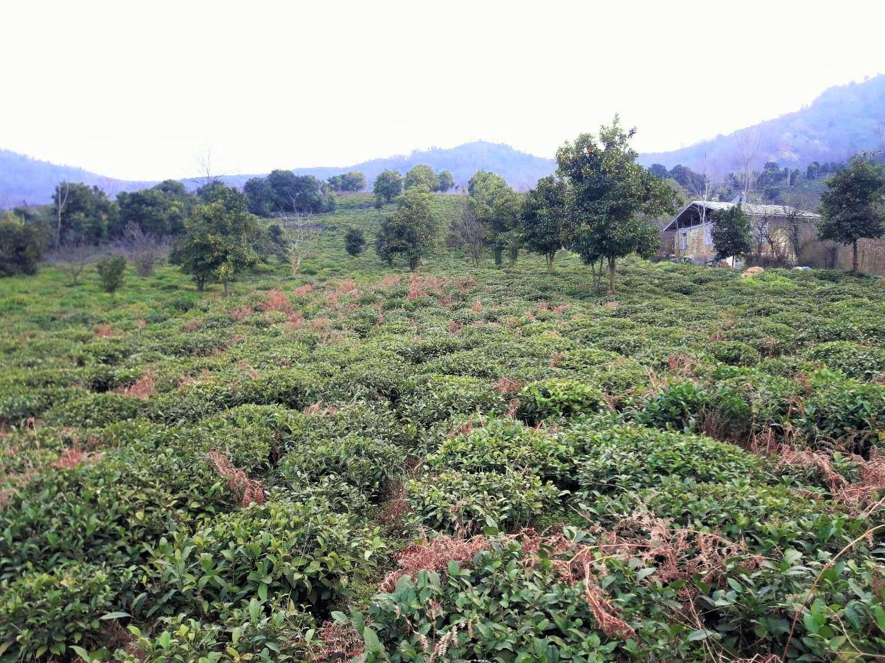 خرید باغ چای در گیلان