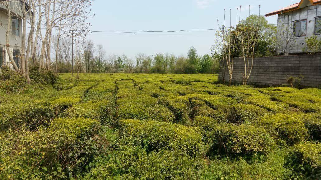 باغ چای در گیلان