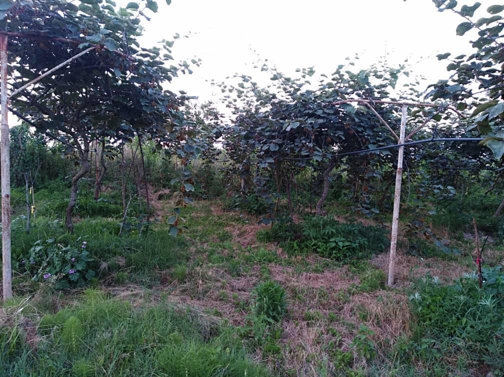 فروش ۷۳۰۰ متر باغ کیوی و میوه