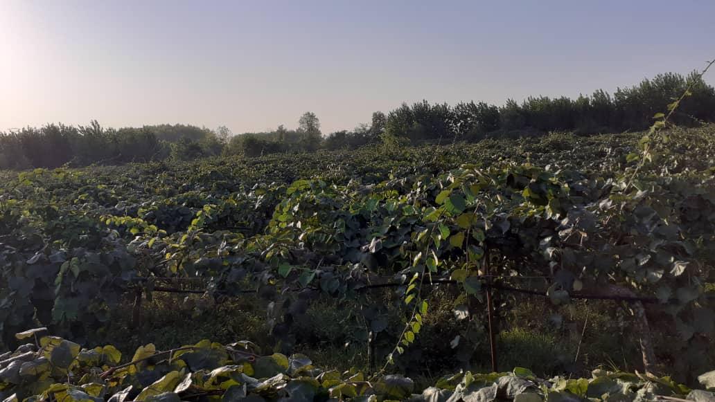 باغ کیوی